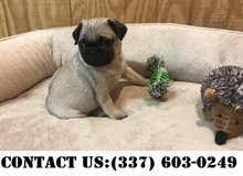 Neoteric  Pug puppies for Adoption in Dover AFB, Delaware