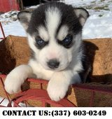 Outstanding Siberian Husky Puppies for Adoption in Dover AFB, Delaware