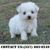 Neoteric Bichon Frise Puppies for Adoption in Dover AFB, Delaware