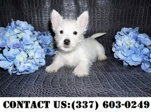 Noble West Highland White Terrier Puppies for Adoption in Dover AFB, Delaware