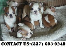 Passionate Boston Terrier Puppies for Adoption in Dover AFB, Delaware