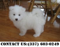 Passionate Samoyed Puppies for Adoption in Dover AFB, Delaware