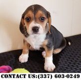 Persuasive Beagle Puppies for Adoption in Dover AFB, Delaware