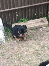 FREE Puppies and 1 female dog in Leesville, Louisiana