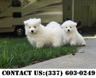 Sensuous Samoyed Puppies for Adoption in The Woodlands, Texas