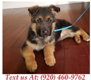 bubbly German Shepherd Puppies For Adoption Text us (920) 460-9762 in Fort Riley, Kansas