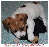 bubbly Jack Russell Terrier Puppies For Adoption Text us (920) 460-9762 in Fort Riley, Kansas