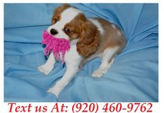 bubbly Cavalier King Charles Puppies For Adoption Text us (920) 460-9762 in Fort Riley, Kansas