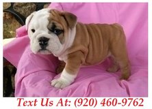 capable Bulldogs Puppies For Adoption Text us (920) 460-9762 in Belleville, Illinois