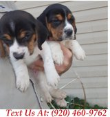 capable Beagle Puppies For Adoption Text us (920) 460-9762 in Belleville, Illinois