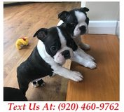 capable Boston Terrier Puppies For Adoption Text us (920) 460-9762 in Belleville, Illinois