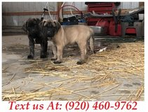 capable Mastiff Puppies For Adoption Text us (920) 460-9762 in Belleville, Illinois