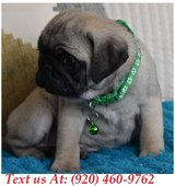 capable Pug Puppies For Adoption Text us (920) 460-9762 in Belleville, Illinois