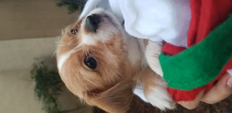 Jack Russell Terrier/Chihuahua puppy in Miramar, California