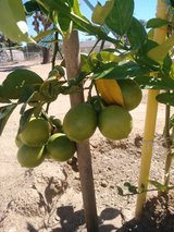 Fruit trees come and get your trees. in 29 Palms, California