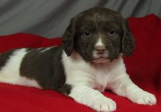 Graceful English Springer Spaniel pups..FOR MORE INFO TEXT OR CALL (801) 829-1836 in Fort Riley, Kansas