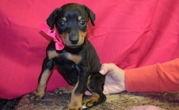 Graceful Dobermann pups..FOR MORE INFO TEXT OR CALL (801) 829-1836 in Fort Riley, Kansas