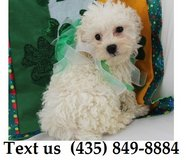 Saucy Bichon Frise Puppies Text us (435) 849-8884 in Brookfield, Wisconsin