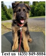 Buzz German Shepherd Puppies For More Info Text us (435) 849-8884 in Fort Belvoir, Virginia