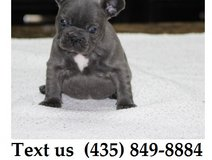 Mia French Bulldog Puppies For More Info Text us (435) 849-8884 in Bellaire, Texas