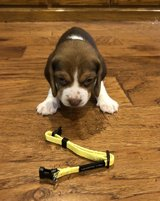 Incredible Beagle pups..FOR MORE INFO TEXT OR CALL (801) 829-1836 in Schofield Barracks, Hawaii