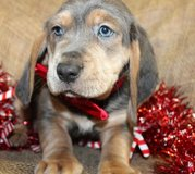 Incredible Basset Hound pups..FOR MORE INFO TEXT OR CALL (801) 829-1836 in Schofield Barracks, Hawaii