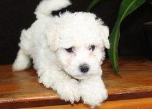 Incredible Bichon Frise pups..FOR MORE INFO TEXT OR CALL (801) 829-1836 in Schofield Barracks, Hawaii