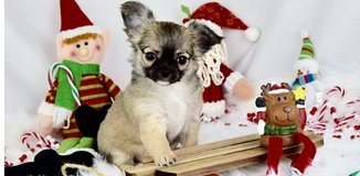 Incredible Chihuahua pups..FOR MORE INFO TEXT OR CALL (801) 829-1836 in Schofield Barracks, Hawaii
