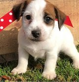 Exceptional Jack Russell pups..FOR MORE INFO TEXT OR CALL (801) 829-1836 in Phoenix, Arizona