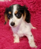Exceptional Daschund pups..FOR MORE INFO TEXT OR CALL (801) 829-1836 in Phoenix, Arizona