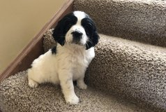 Exceptional English Springer Spaniel pups..FOR MORE INFO TEXT OR CALL (801) 829-1836 in Phoenix, Arizona