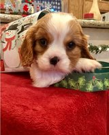 Incredible King Charles Spaniel pups..FOR MORE INFO TEXT OR CALL (801) 829-1836 in Miramar, California