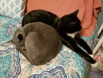 BONDED CAT PAIR in Fort Campbell, Kentucky
