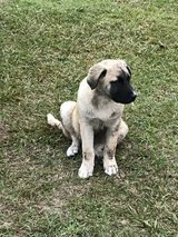 Free Male Puppy Mom is a Great Pyrenees. in Leesville, Louisiana