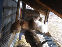 Bunnies in Fort Leonard Wood, Missouri