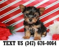 Accepting Yorkshire Terrier  puppies for adoption in Chicago, Illinois