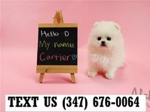 Accepting Pomeranian  puppies for adoption in Brookfield, Wisconsin