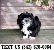 Accepting Shih Tzu puppies for adoption in Brookfield, Wisconsin