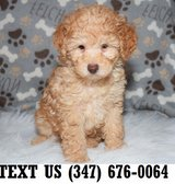 Accepting  Poodle puppies for adoption in Brookfield, Wisconsin