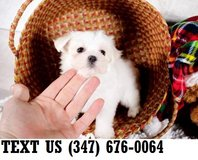 Accepting  Maltese puppies for adoption in Brookfield, Wisconsin