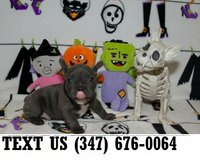 Accepting French Bulldog puppies for adoption in Brookfield, Wisconsin