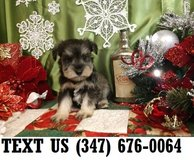 Accepting Miniature Schnauzer puppies for adoption in Chicago, Illinois