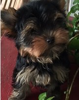 Adorable Yorkshire Terrier pups..FOR MORE INFO TEXT OR CALL (801) 829-1836 in Lake Worth, Texas