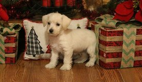 West Highland White Terrier pups..FOR MORE INFO TEXT OR CALL (801) 829-1836 in Lake Worth, Texas