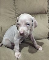 Adorable Weimaraner pups..FOR MORE INFO TEXT OR CALL (801) 829-1836 in Lake Worth, Texas