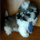 Adorable Shih Tzu pups..FOR MORE INFO TEXT OR CALL (801) 829-1836 in Lake Worth, Texas