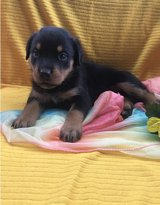 Adorable Rottweiler pups..FOR MORE INFO TEXT OR CALL (801) 829-1836 in Lake Worth, Texas