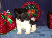 Classic Akita pups..FOR MORE INFO TEXT OR CALL (801) 829-1836 in Fairchild AFB, Washington