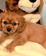 Cavalier King Charles Spaniel pups..FOR MORE INFO TEXT OR CALL (801) 829-1836 in Fairchild AFB, Washington