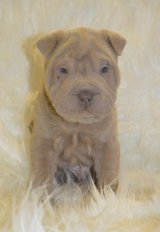 Classic Chinese Shar-Pei pups..FOR MORE INFO TEXT OR CALL (801) 829-1836 in Fairchild AFB, Washington